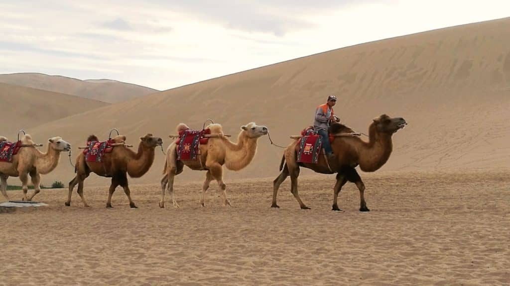 Camels along the Silk Route