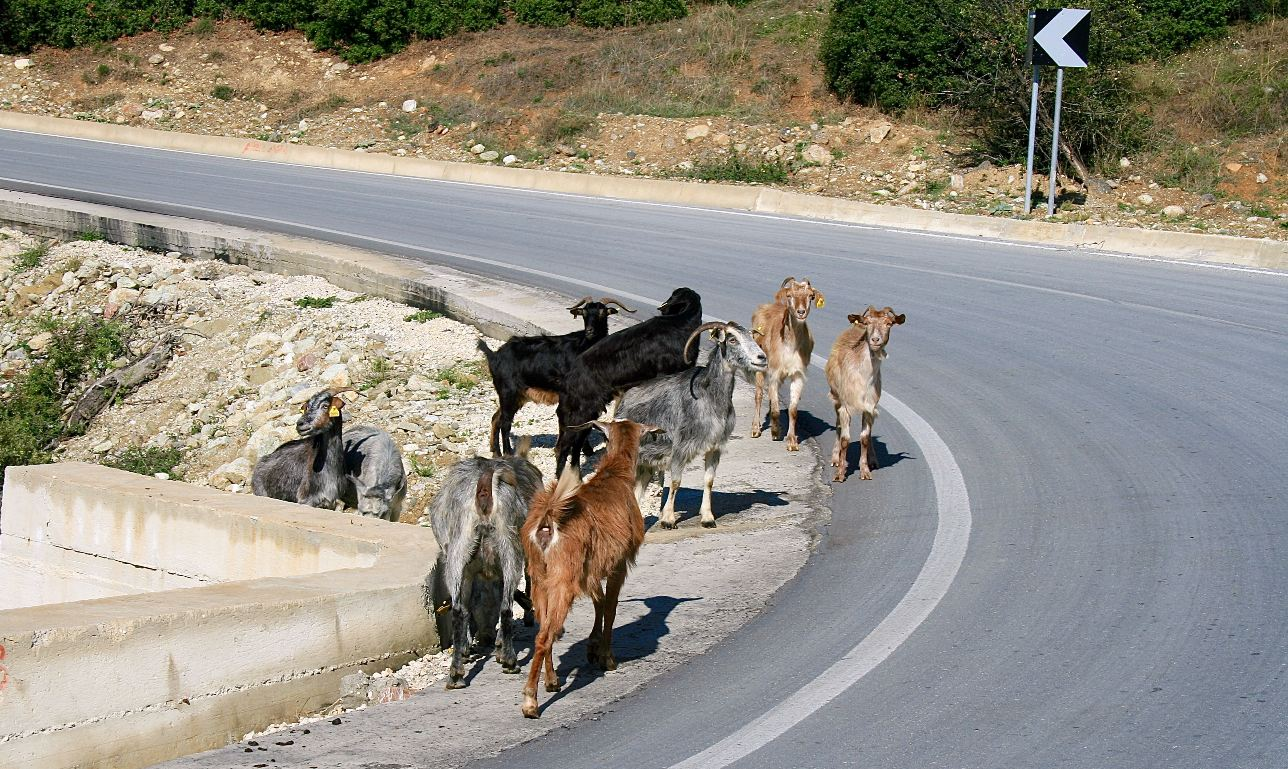 A pilgrimage of goats on the road circuit